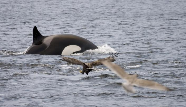 gemeinsames Jagdglück, Orca, Seeadler und Möwe